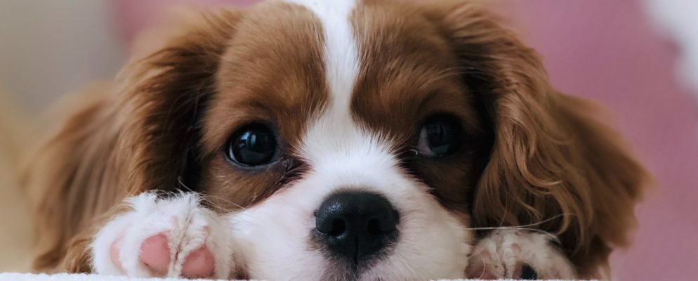 10 Ethical Sites for Puppy Adoption