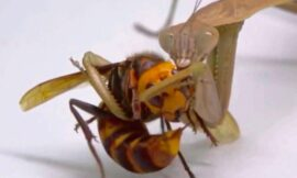 Praying mantises will save us all from murder hornets