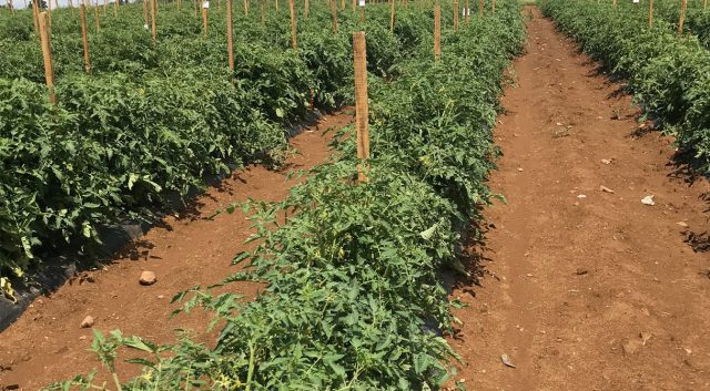 Researchers Make 'Super-Tomatoes' With Genetically Stressed Root Grafts