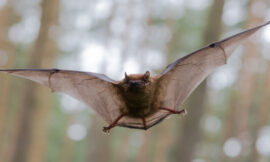 Researchers raise bats in helium-rich air to check how they sense sound