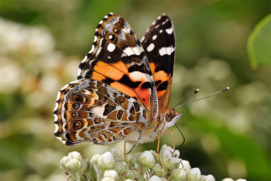 Scientists reveal how Painted Lady butterflies migrate across the Sahara desert